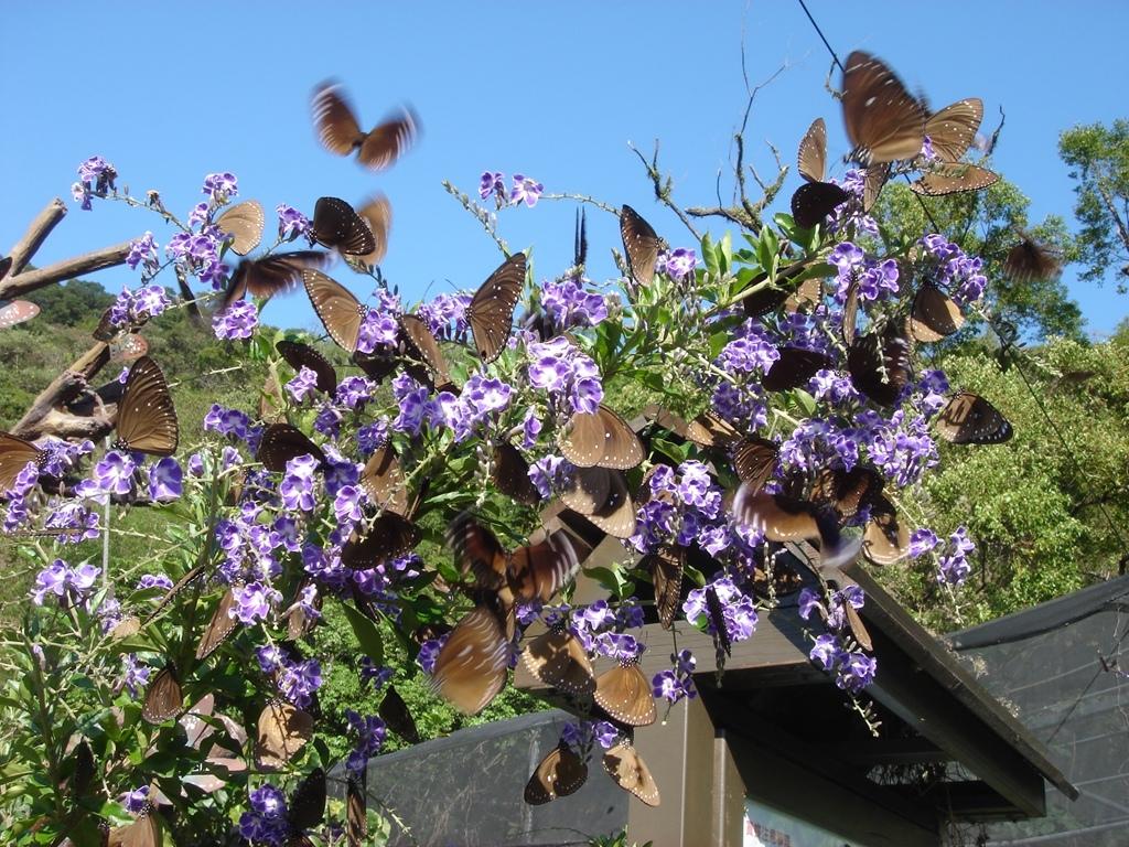 紫斑蝶季开始了